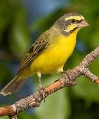 Burung Mozambik Jantan