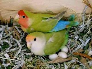 Inilah Makanan Lovebird Saat Mengeram
