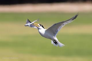 Birds in Flight Photography: wift Tern Dropping Breakfast Woodbridge Island