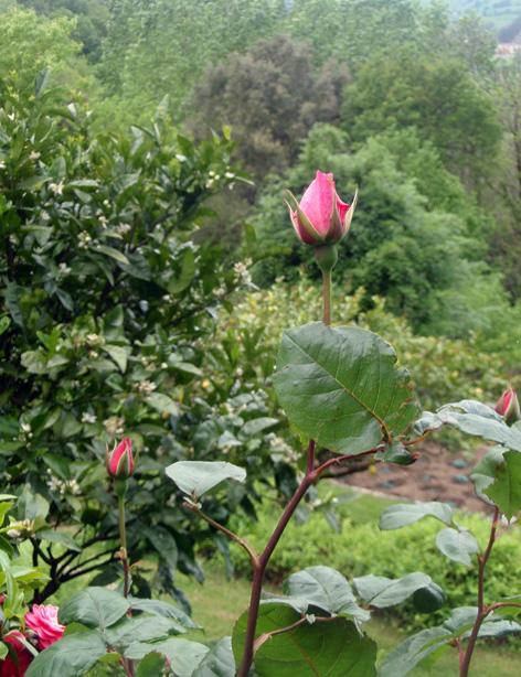 rosales en flor