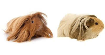 Silkie guinea pig vs Peruvian