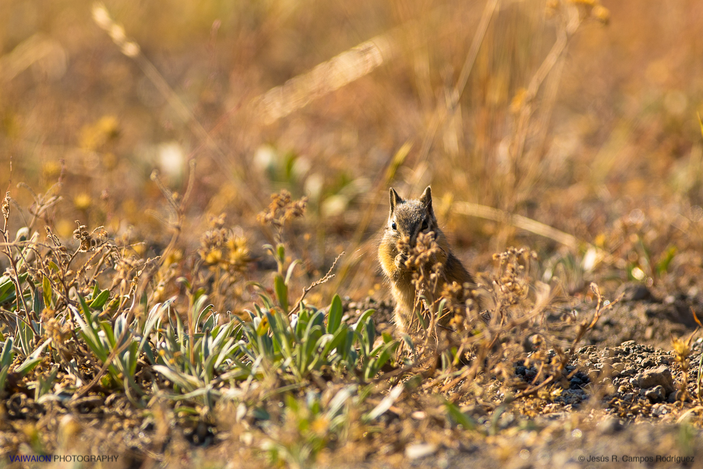 Ardilla de manto dorado, saludando a la mañana