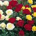 Cara Menanam mawar agar Rajin berbunga Di Pot dan Perawatanya