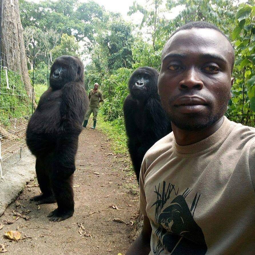 Two gorillas were captured in a selfie that made the rounds on the Internet.