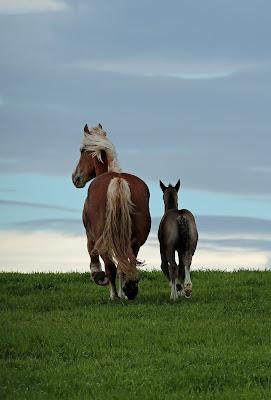 農用(輓系)馬の親子 ≪Ban'ei horse≫ drafthorse