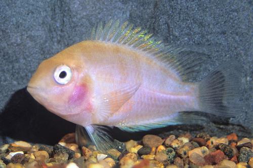 convict putih ikan hias air tawar