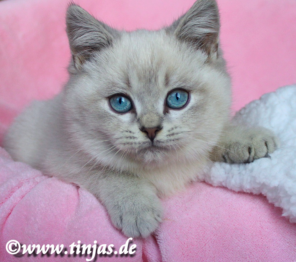 BKH Kitten Farbe : Blue golden tabby point