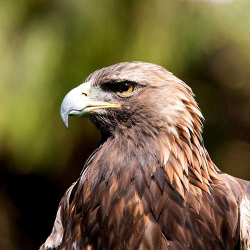 Birds of India - Image of Golden eagle - Aquila chrysaetos