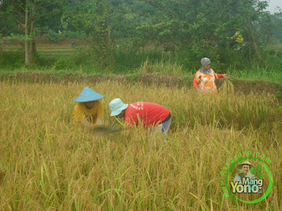 Pemanenan Padi TRISAKTI  di Sawah Tegalsungsang, Des, Bendungan,