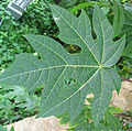 papaya_leaf