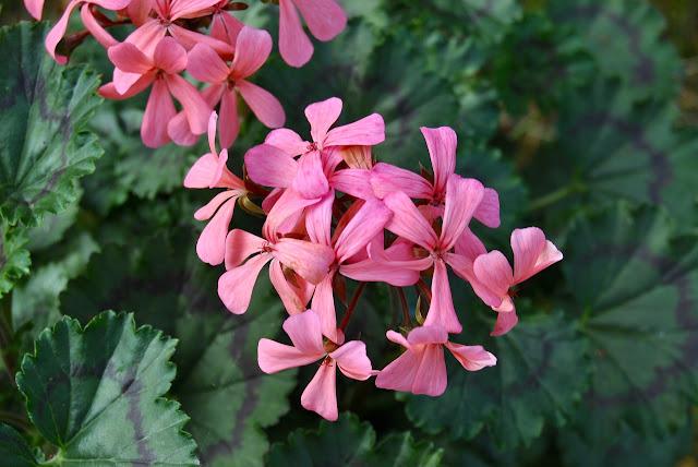 Pelargonium Dresden Pink
