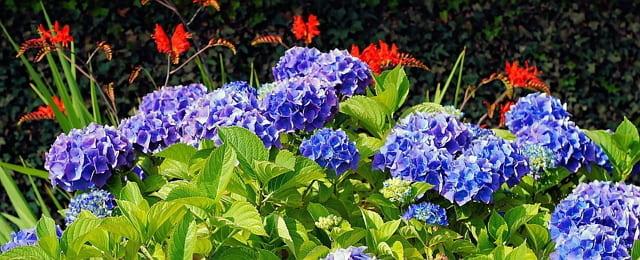 tanaman hias bunga hydrangea