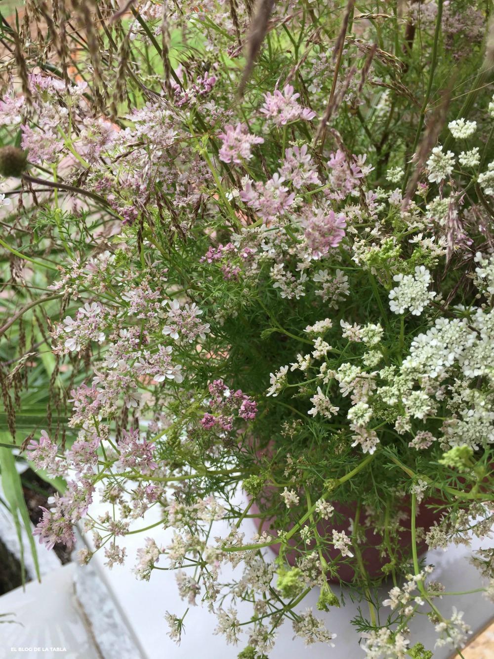 Flores en umbela de color rosa y blanco de la planta aromatica cilantro