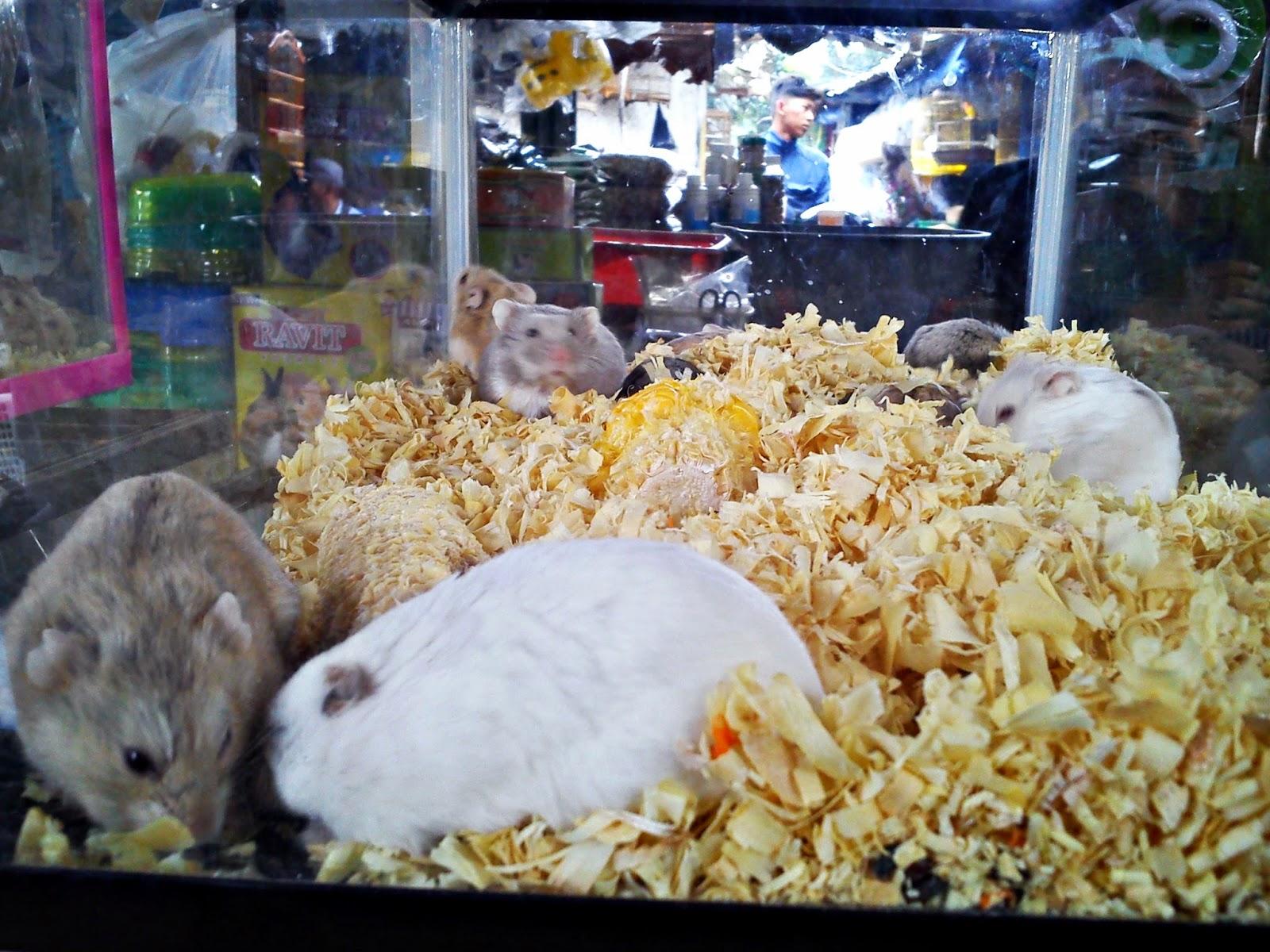 Hamster di Pasar Burung Sukahaji, Bandung.