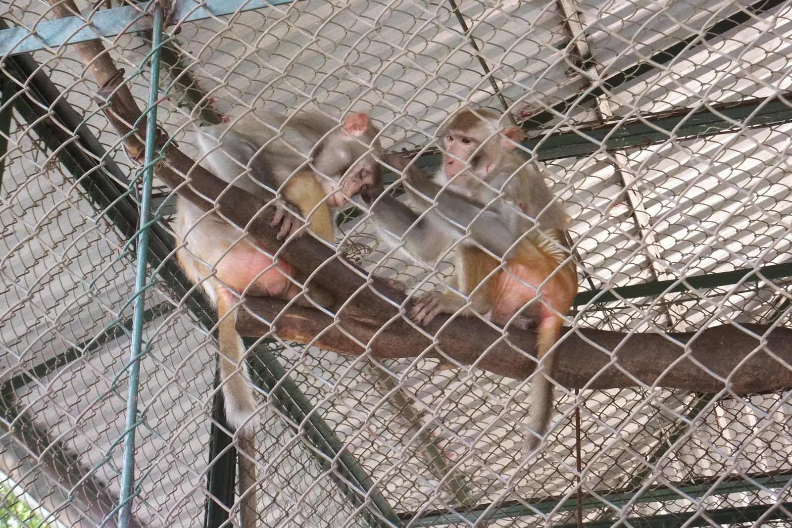 hanoi-zoo-monkey ハノイ動物園の猿