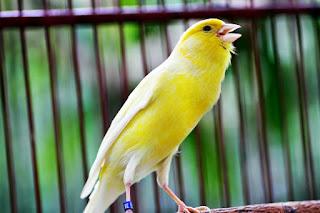 Suara Kicau Burung Kenari Gacor