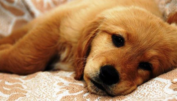 Bệnh giun tim ở chó