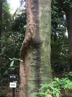 国立科学博物館附属自然教育園園内のもふもふの木