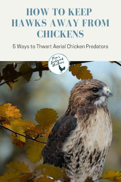 You can help keep hawks away from backyard chickens with these five simple steps.