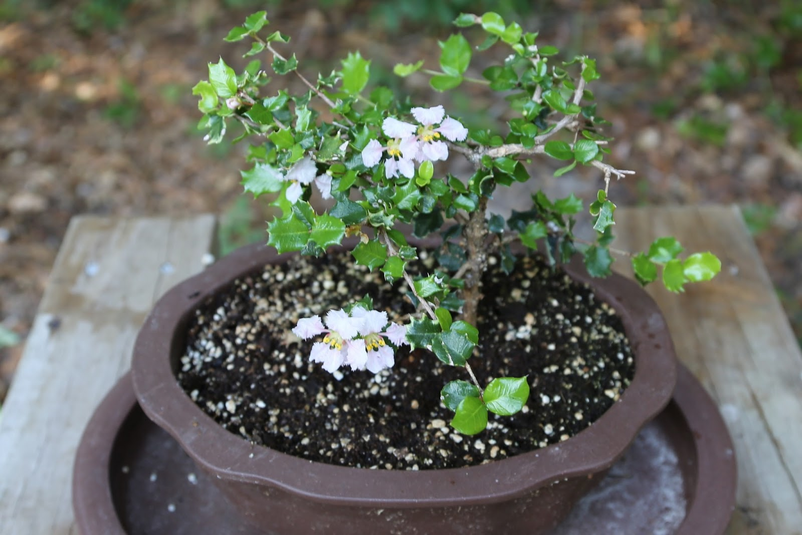 blooming bonsai holly tree