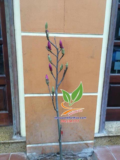 Hoa mộc lan, trang trí cho sân vườn trang nhã. 4f421a2ba3a840f619b9