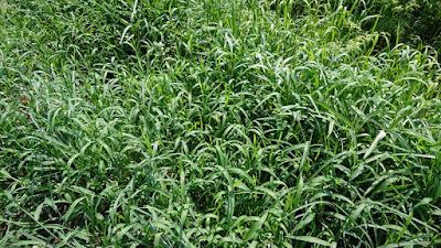 雑草に埋もれたエンツァイ