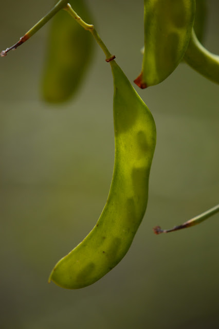Parkinsonia florida seedpod