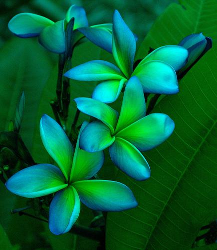 Blue Hawaii Flower 105