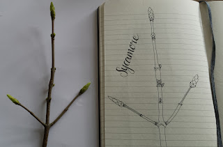 Alice Draws The Line :: Sketching Sycamore