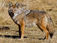 Coyote Animal Pictures