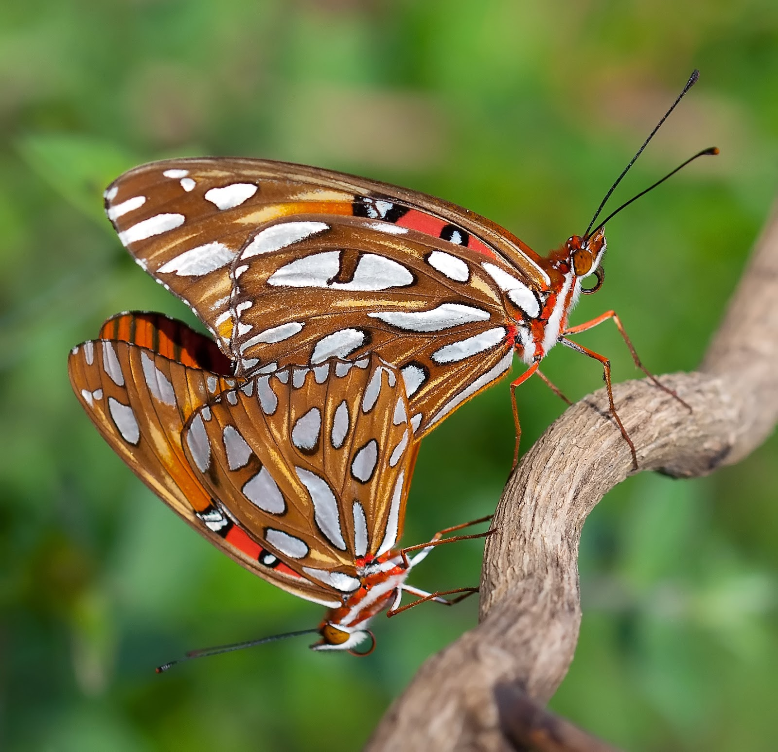 Insects: Gulf Fritillaries Mating