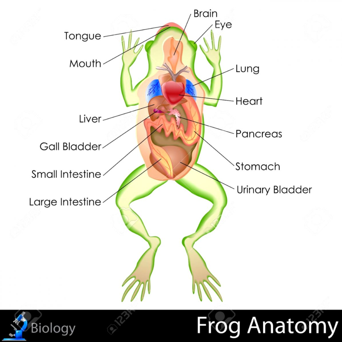Frog Anatomy Wallpapers History