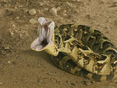 Snakes Eating Cows Snakes: Puff Adder