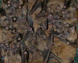 Nunca tente tocar em morcegos que eventualmente entrem em casa ou apareçam caídos no chão. Neste caso, imobilize o animal numa caixa virada para baixo e o mantenha preso. Em seguida, entre em contato com o Instituto de Vigilância e Fiscalização Sanitária em Zoonoses para o recolhimento do animal. • Em caso de ataque a pessoas,