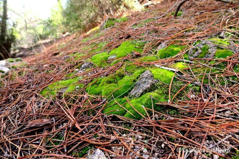 La Pedriza マドリードの山歩きで見つけた緑鮮やかな苔