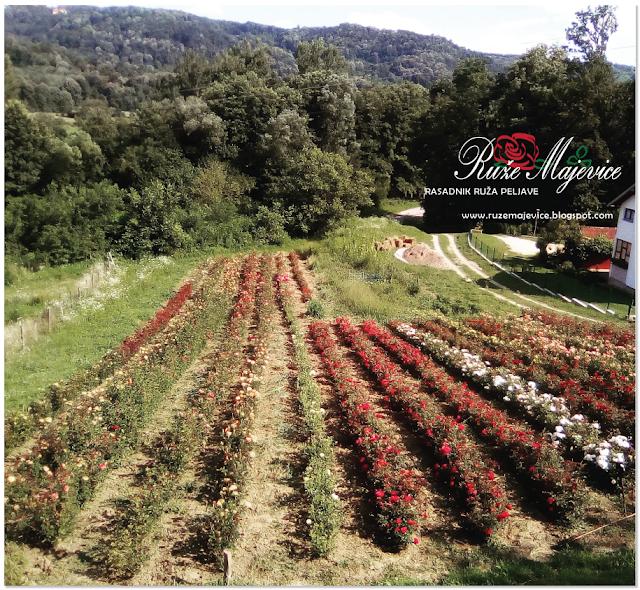 Sadnice ruža u rasdniku Ruže Majevice