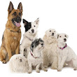 Welcome Dog Lovers - Information About Dogs, Dog Breeds, Dog Training, Adoption & Behavior: Ears and Ear Set of Dog Breeds