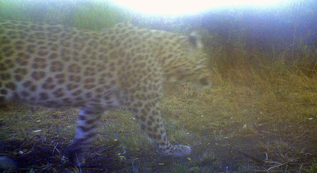 Leopard, Luiperd, Panthera pardus