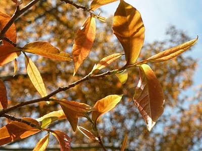 flora nativa de Argentina Viraró Ruprechtia laxiflora