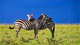Pasangan Kuda zebra