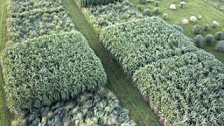 cỏ  lau làm gạch tốt