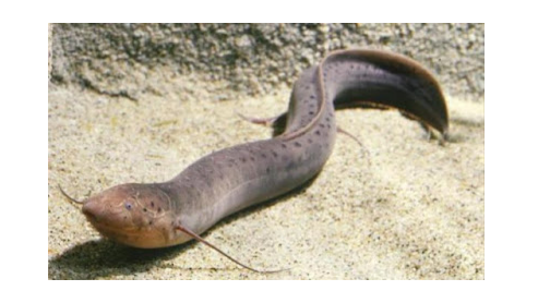 MasyaAllah! Ternyata Ikan Inilah Yg Diceritakan Al- Qur'an Yang Bisa Hidup Tanpa Air