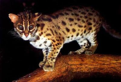 Kucing Hutan / Blacan