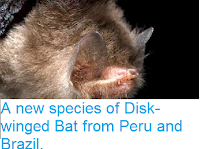 http://sciencythoughts.blogspot.co.uk/2014/05/a-new-species-of-disk-winged-bat-from.html