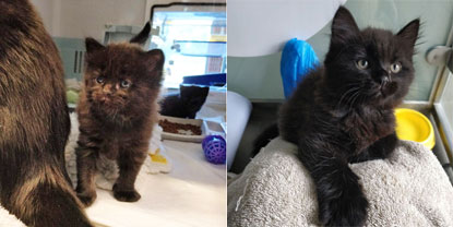 Black kitten at three weeks (left) and seven weeks (right)