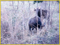 Gaur Bos frontalis Pictures