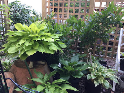 various hostas in a grouping