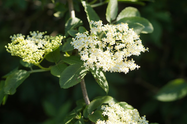 picking elderflowers and making cordial