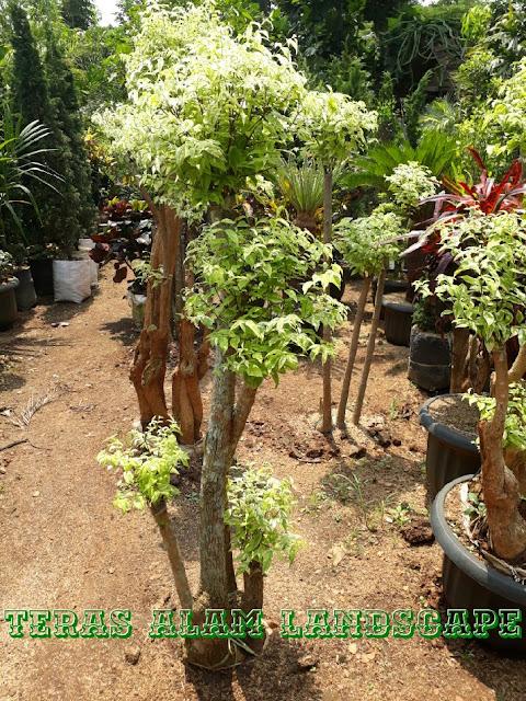 harga pohon bonsai anting puteri