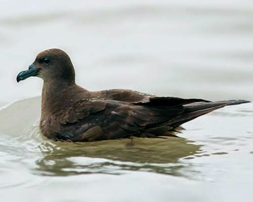 Indian birds - Jouanin's petrel - Bulweria fallax